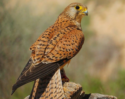 Kestrel, bird of prey adapted to the area