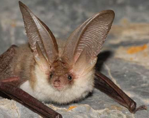 Canary big-eared bat which inhabits the lava tubes