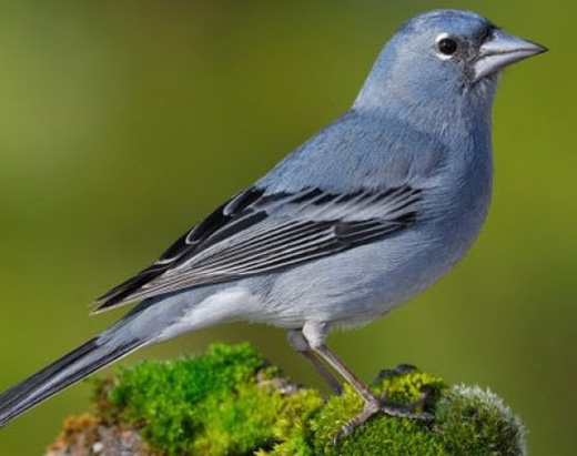 Blue chaffinch, bird with a bright-blue plumage