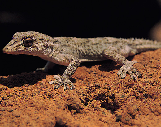 Wall gecko, a tiny endemic reptile, symbol of good luck